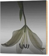 Veiled Lily Wood Print