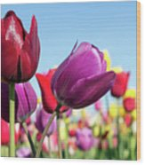 Velvet Red And Purple Tulip Flowers Closeup Wood Print