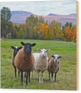 Vermont Sheep In Autumn Wood Print