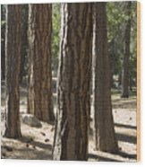 Vertical Of A Stand Of Ponderosa Pine Wood Print