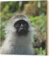 Vervet Monkey Wood Print