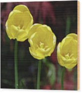Very Blooming And Flowering Trio Of Yellow Tulips Wood Print