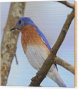 Very Bright Young Eastern Bluebird Perched On A Branch Colorful Wood Print