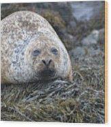 Very Chubby Harbor Seal Wood Print