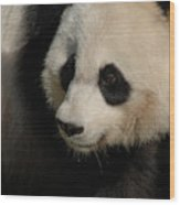 Very Fluffy Furry Face Of A Giant Panda Wood Print