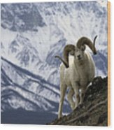 Very Large Dall Sheep Ram On The Grassy Wood Print