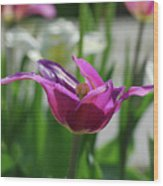 Very Pretty Blooming Purple Tulip With Spikey Petals Wood Print