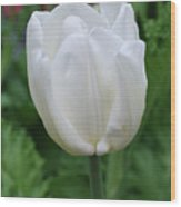 Very Pretty Blooming White Tulip In A Garden Wood Print