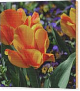 Very Pretty Colorful Yellow And Red Striped Tulip Wood Print