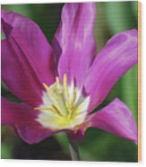 Very Pretty Dark Pink Blooming Tulip With Yellow In The Center Wood Print