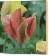 Very Pretty Flowering Pink And Green Striped Tulip Wood Print