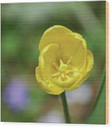 Very Pretty Flowering Yellow Tulip Blooming In A Garden Wood Print