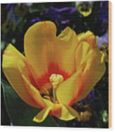 Very Pretty Flowering Yellow Tulip With A Red Center Wood Print