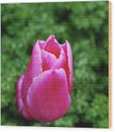 Very Pretty Garden With A Dark Pink Tulip Wood Print