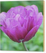 Very Pretty Lavender And Pink Tulip Blossom Flowering Wood Print