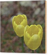 Very Pretty Pair Of Flowering Yellow Tulip Blossoms Wood Print