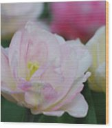 Very Pretty Pale Pink Parrot Tulip Flower Blossom Wood Print