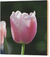 Very Pretty Pale Pink Tulip Blossom In Spring Wood Print