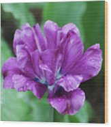 Very Pretty Purple Tulip With Dew Drops On The Petals Wood Print