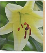Very Pretty Single Blooming Yellow Daylily Flower Wood Print
