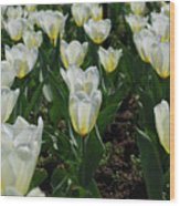 Very Pretty Spring Garden With Flowering White Tulips Wood Print