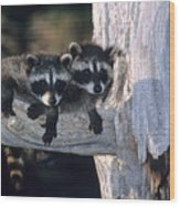 Very Young Raccoons Wood Print