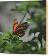 Vibrant Colors To A Orange Oak Tiger Butterfly Wood Print