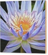 Vibrant White Water Lily Wood Print