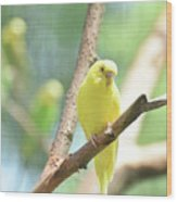 Vibrant Yellow Budgie Parakeet In The Summer Wood Print