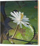 Victoria-regia Flower Wood Print
