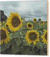 View Of A Field Of Sunflowers Wood Print