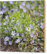 Vinca Violet Purple Clump Wood Print