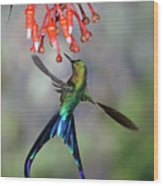 Violet-tailed Sylph Feeding Wood Print