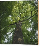 Virgin Canopy Wood Print