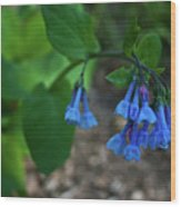 Virginia Bluebells In The Early Morning Wood Print