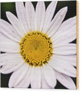 Virginia Daisy Wood Print