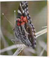 Virginia Lady Butterfly Side View Wood Print