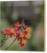 Visor Wearing Bee Pollinates A Colorful Flower Wood Print