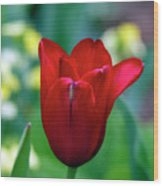 Vivid Red Tulip Wood Print