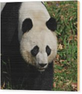 Waddling Giant Panda Bear In A Grass Field Wood Print