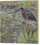 Wading Green Heron Wood Print