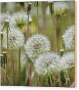 Waiting For A Spring Breeze Wood Print