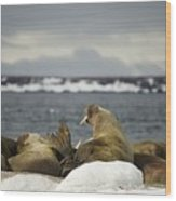 Walruses With Giant Tusks At Arctic Haul-out Wood Print