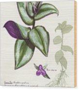 Wandering Jew - Tradescantia Zebrina Wood Print
