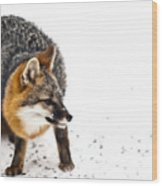 Wary Red Fox Wood Print
