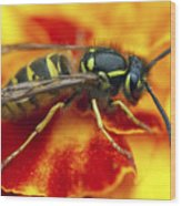 Wasp In The Bloom Wood Print