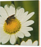 Wasp On Daisy Wood Print