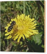 Wasp Visiting Dandelion Wood Print