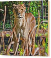Watchful Lioness Wood Print