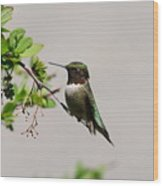 Watchful Male Hummer Wood Print